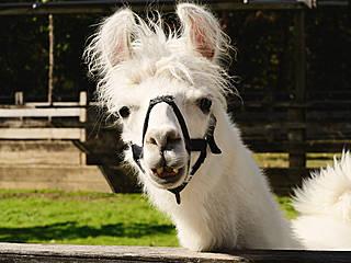 Lama im Birmingham Zoo. © ralph and jenny