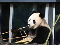 Ein Panda beim Futtern © AdamAxon