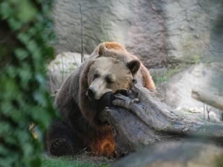 Bär im Bioparco Zoologico di Roma. © Bisbi