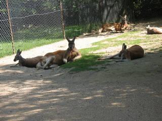 Kängurus beim Ausruhen © StuBez